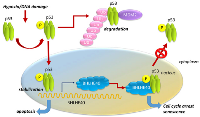Figure 3:  Regulation of BHLHE40 by the p53-dependent pathway in senescence.