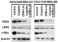 Figure 5:  Effect of CFM-4.16 plus cisplatin treatment on the expression of FZD8, LRP6 and c-Myc in CisR/MDA-231  and CisR/MDA-468 derived cancer stem cells.
